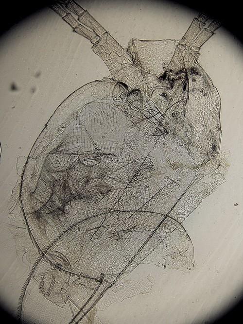 Оболочка большой дафнии (лат. Daphnia magna, дафния магна) под микроскопом - мелкое ветвистоусое ракообразное, использующееся в биотестировании