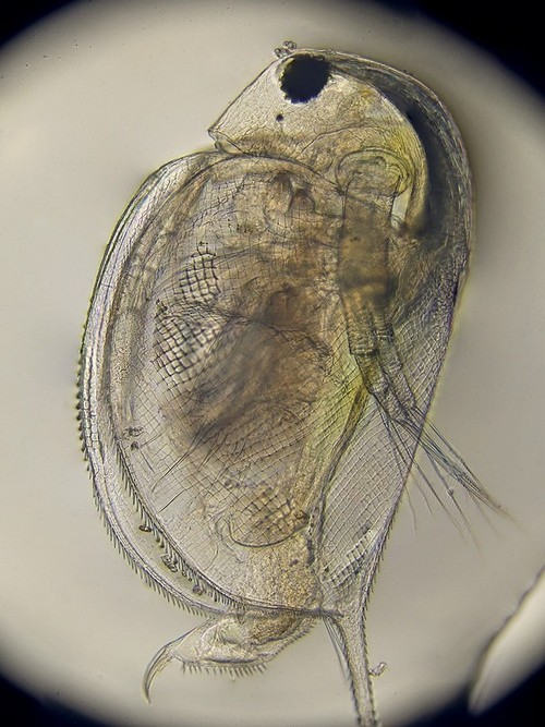 Большая дафния (лат. Daphnia magna) – мелкий ветвистоусый рачок, использующийся в биотестировании