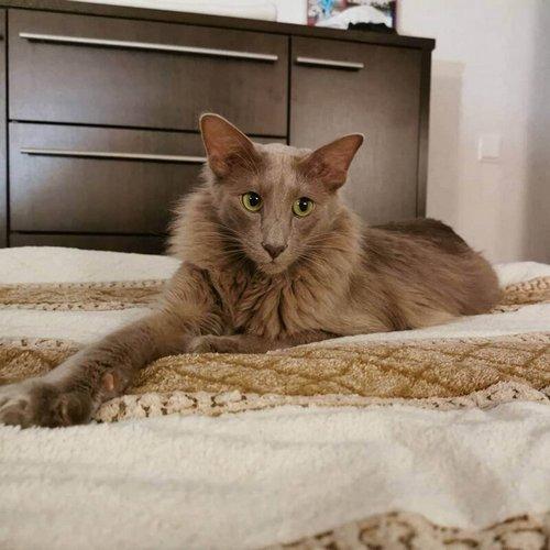 11. Яванская кошка (яванез)
