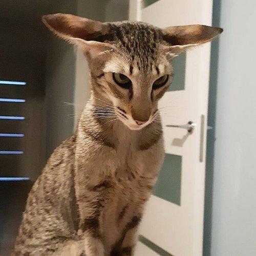 15. Ориентальная кошка