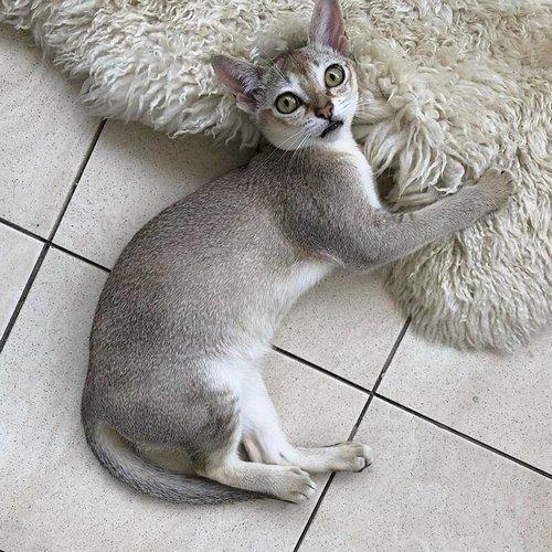 16. Сингапурская кошка
