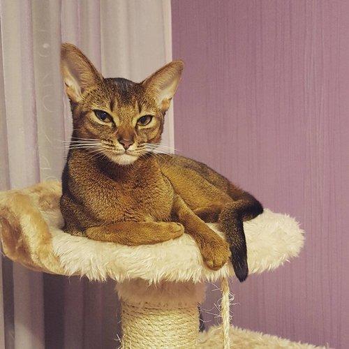 17. Абиссинская кошка